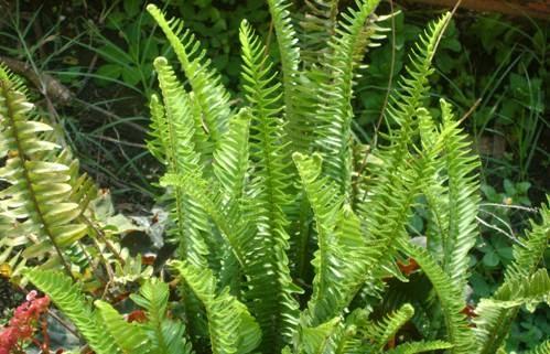 Herbariio viirtual for Plantas ornamentales helechos