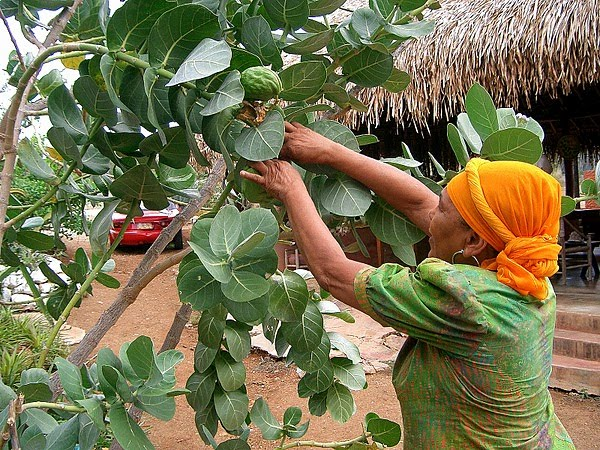 "CURACAO (Netherlands Antilles) - ""Den Paradera"" / an herb preserve."