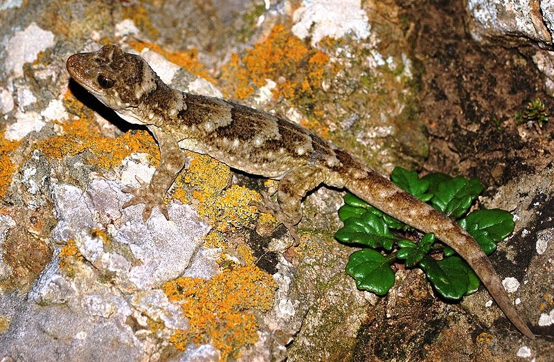 quot the first giant gecko found