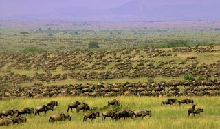 Safaris in Kenya during Wildebeest Migration in Masai Mara safari tour and holidays in Kenya