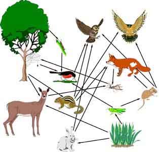Feeding Habits Sierra Nevada Red Fox