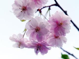 Sakura Ungu