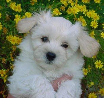 maltese anjing ras yang sangat elegan wahw33d