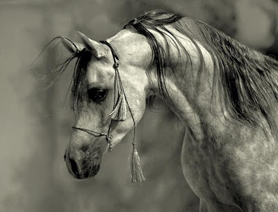arabian horse wallpaper. black and white Arabian Horse