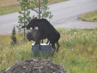 o boi pegando uma estátua de vaca