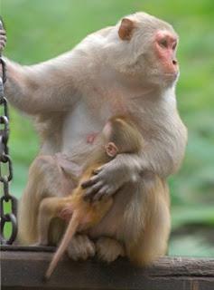 Mamâo macaca e seu filhotinho