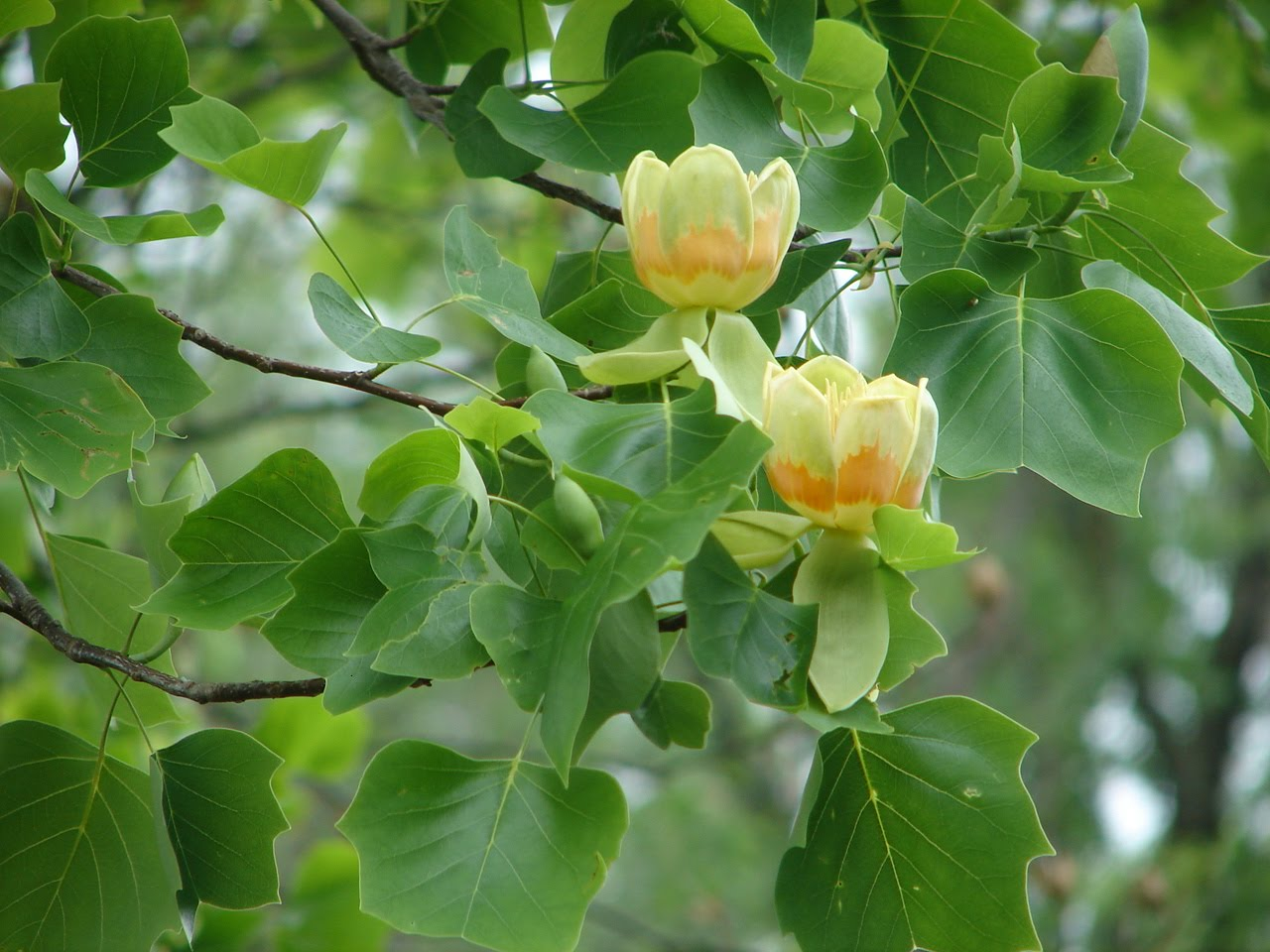 Gardenrambler tulip tree or tulip poplar the other day when i looked up at the large tree in my neighbors yard i saw this a pair of very pretty and large yellow green and orange flowers mightylinksfo