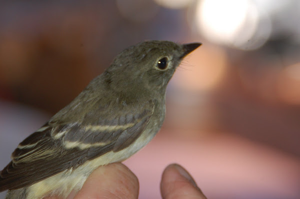 Trail's Flycatcher