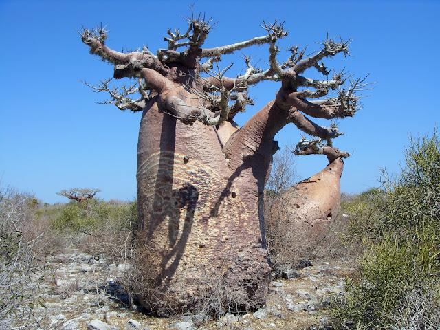 Толба баобабов