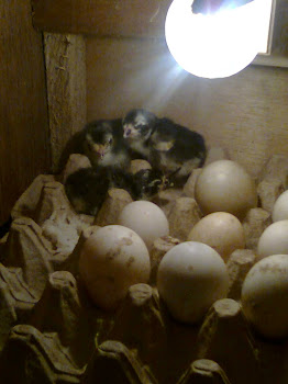 Penetesan Telur