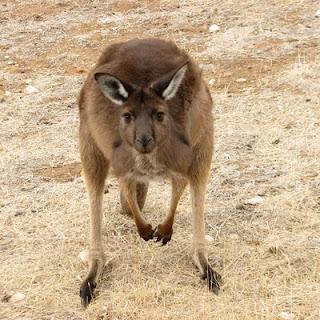 kengura