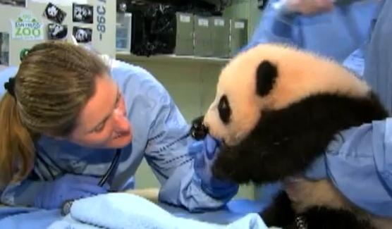 San Diego Zoo Panda Cub Named Yu Zi Son of Cloud