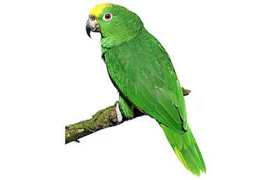 Parrot clip art - photo#24