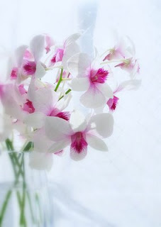 A beautiful white orchid.