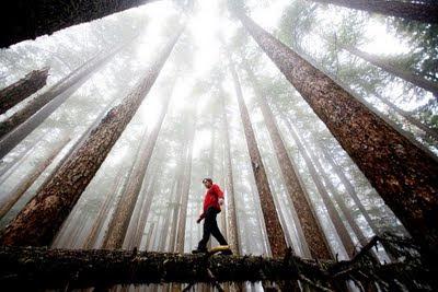 David Hanson meniti sebatang balak yang tumbang di bawah bayangan pokok-pokok yang tinggi di Washington's Olympic National Park.