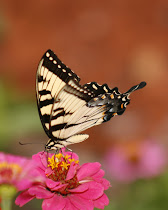Tiger Swallowtail Wings Together