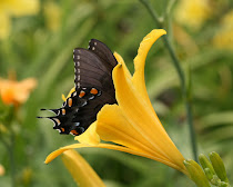 Swallowtail in daylily