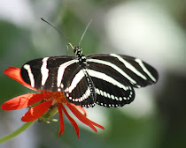 Zebra Heliconian