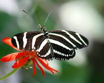 Zebra Heliconian