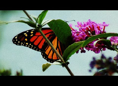 Butterfly in a Butterfly Bush