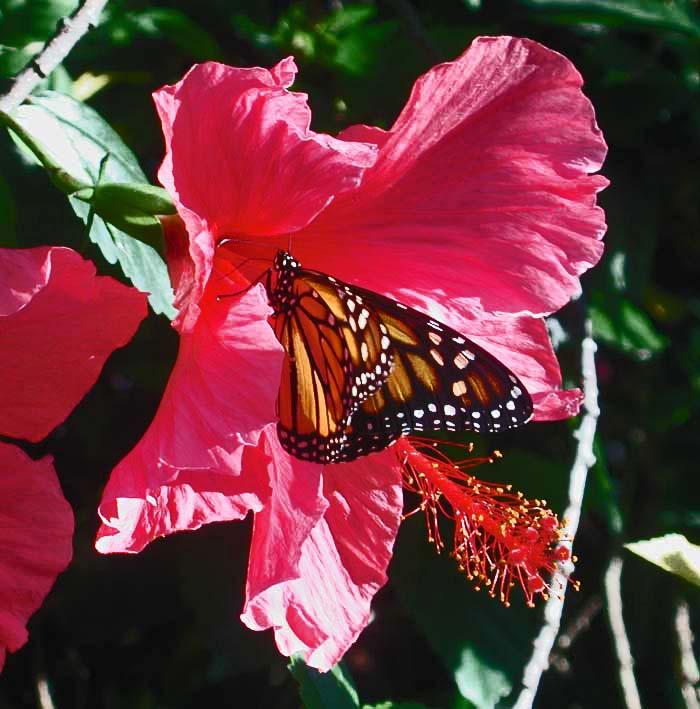 [Monarch-in-Hibiscus.jpg]