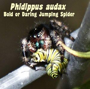 [spider+with+monarch+cat.jpg]