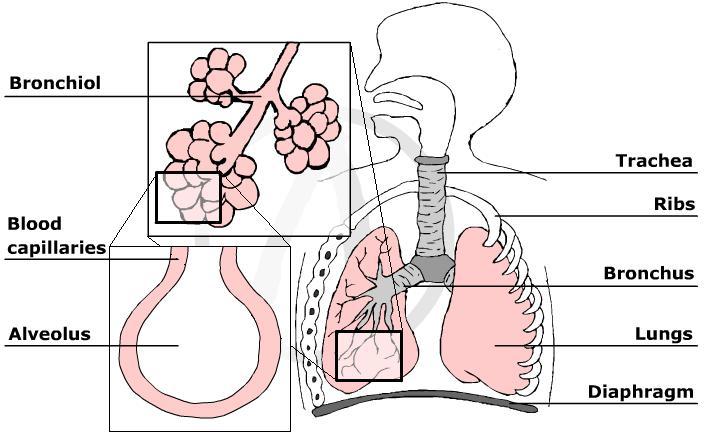 Myscience Class The Human Respiratory System