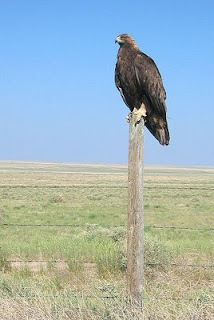 bird golden eagle prairie Colorado