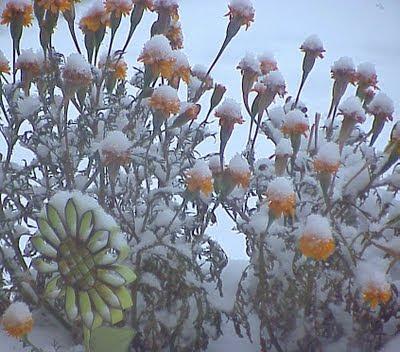 marigold snow