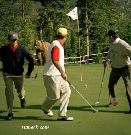 Golf Course Bear
