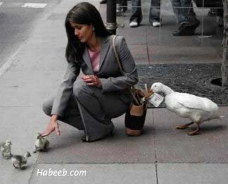 Duck Pickpocketing a Woman While She Feeds Baby Ducks