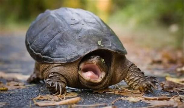 Yelling Turtle