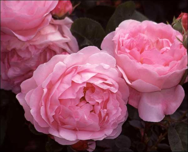 loft cottage roses everywhere roses. Black Bedroom Furniture Sets. Home Design Ideas