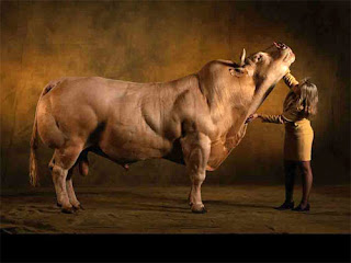 Life, Adventures and Discoveries: Buff Cows
