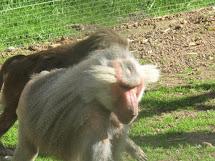 Captive primate  problems