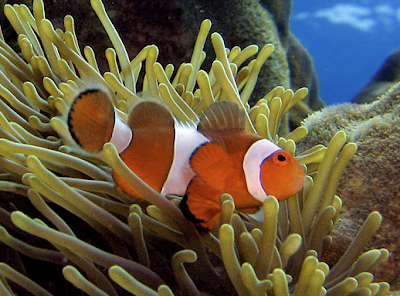 adopt a fish - a clown anemonefish