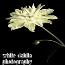 White Dahlia Photography