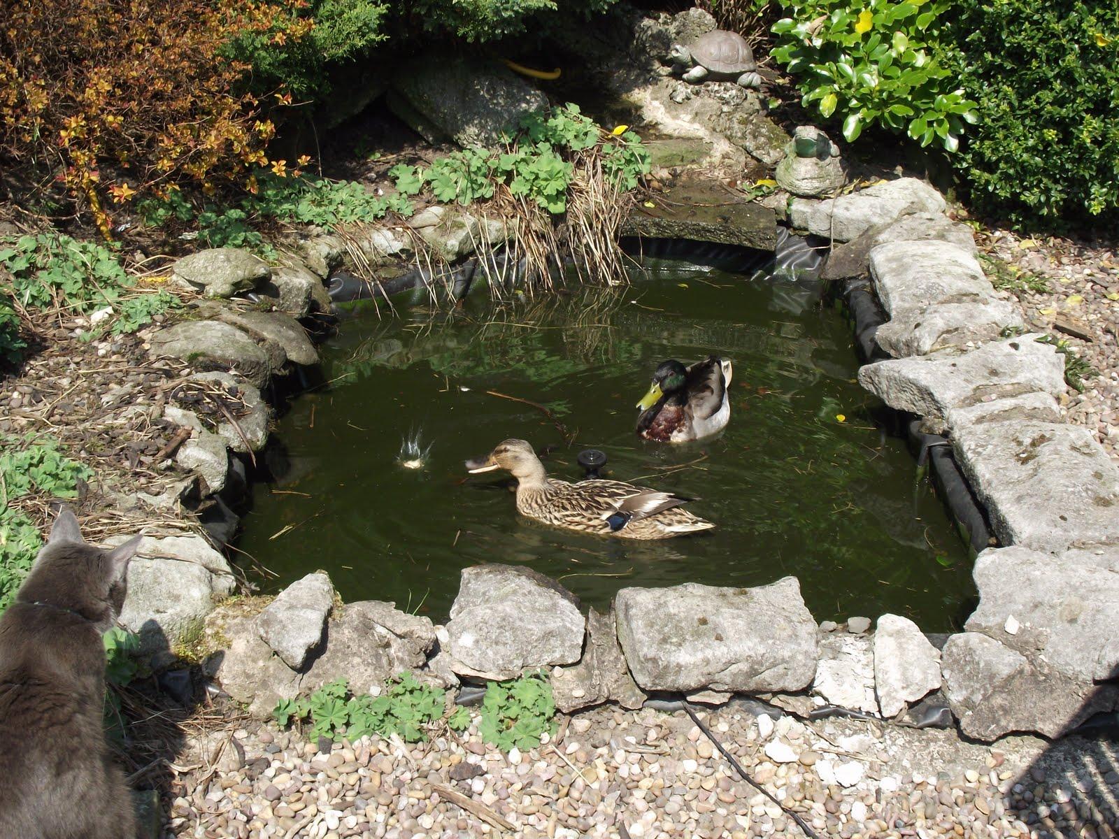 Caldertop Cottage Nature Diary Ducks on the garden pond!