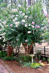 White with Lavender Crape Myrtle