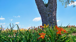 Daylilies Against the Rugged Bark of a Double Tree Trunk