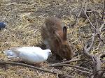 pigeon ou lapin ?