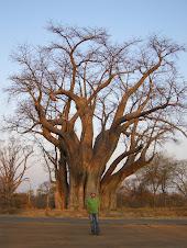 Baobab Victoria Falls Zimbabwe
