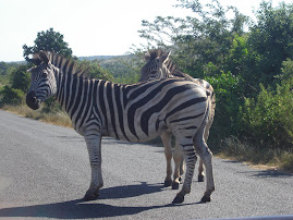 Zebras in Kwazulu Natal South Africa