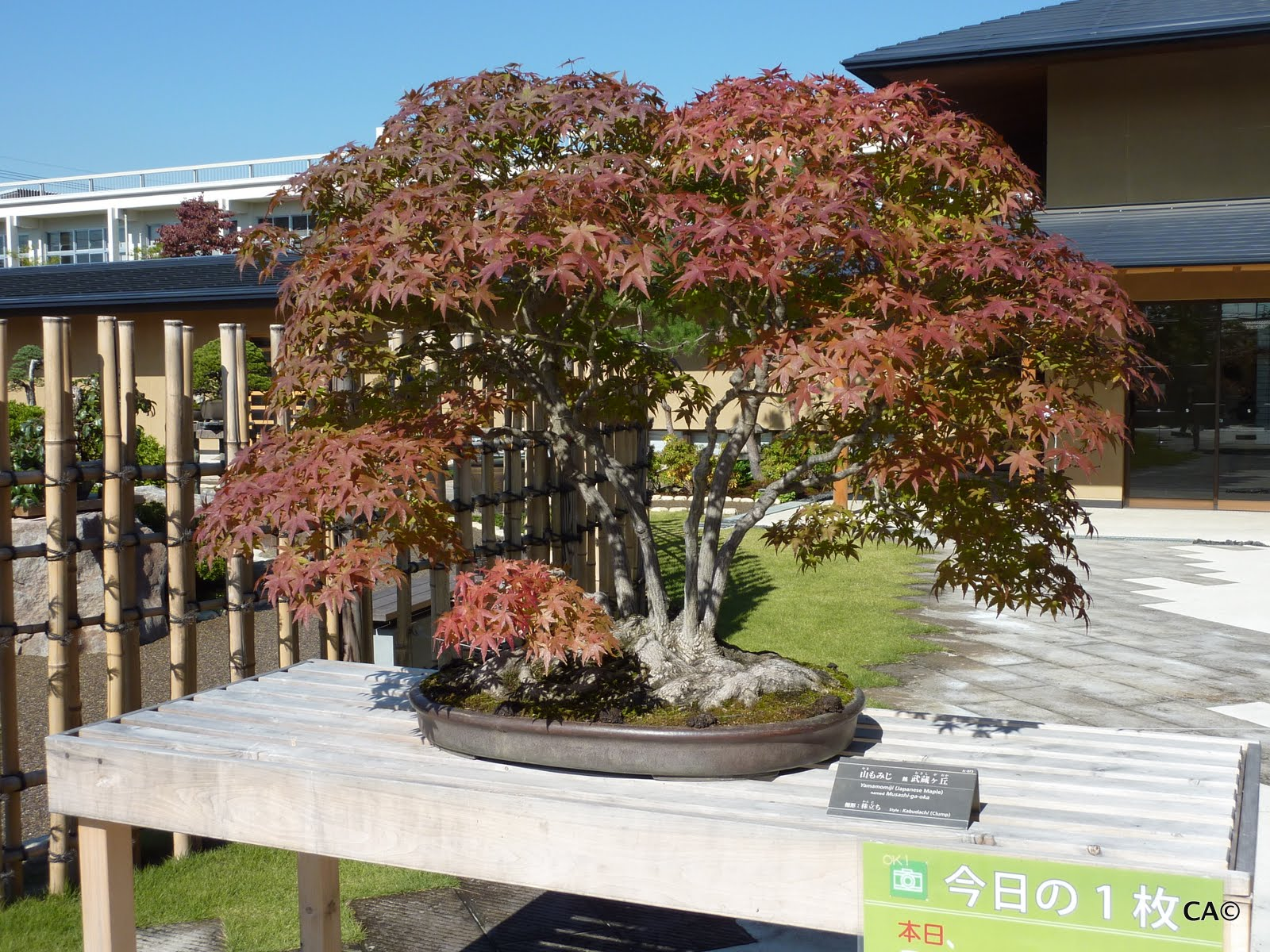 Clifford Blogs Bonsai Town To Tokyo