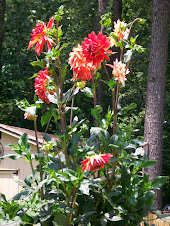 GIANT DAHLIA