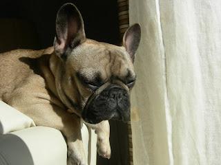 Macho bulldog frances busca novia en madrid o sitios - Bulldog frances gratis madrid ...