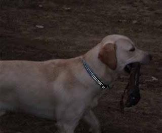 cruzar perro de raza labrador