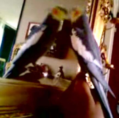 An egotistical bird sings original variations of Mozart's A Little Night Music