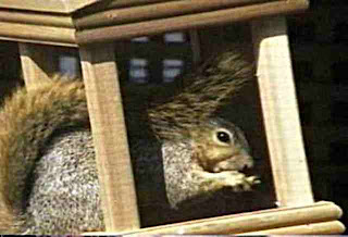 squirrel in a bird feeder