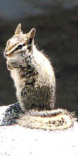Mount San Jacinto State Park chipmunk (c) David Ocker